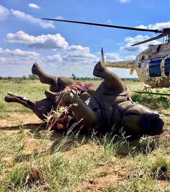 Saving Rhinos Poached Rhinos Image