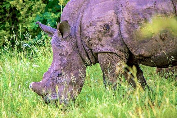 Meet Our Rhinos - Brutus