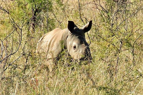 Meet Our Rhinos - Corri