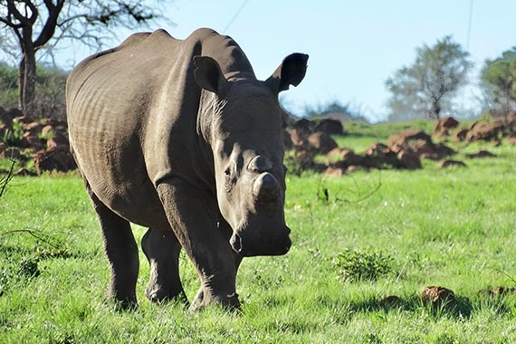Meet Our Rhinos - Madolo