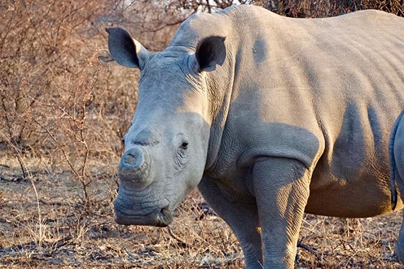 Meet Our Rhinos - Nkombi