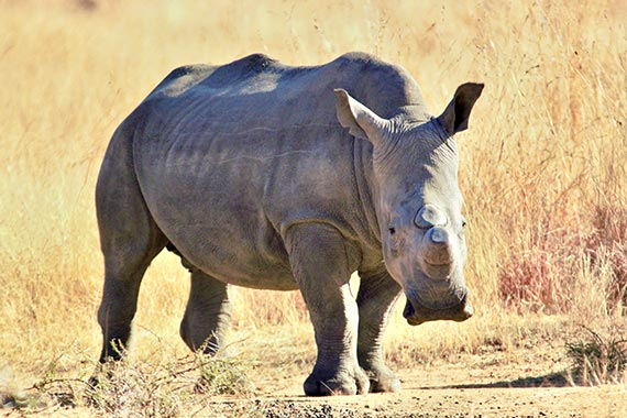 Meet Our Rhinos - Phoenix