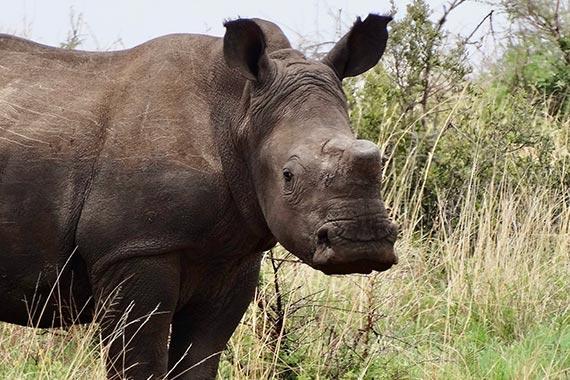 Meet Our Rhinos - Reine