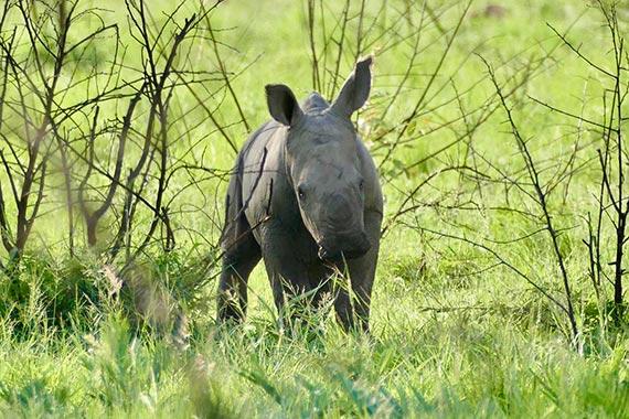 Meet Our Rhinos - Sammi