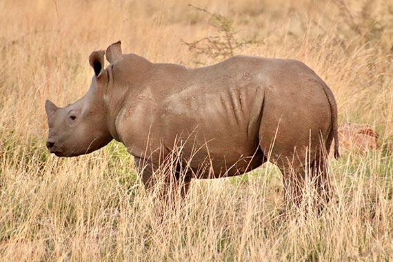 Meet Our Rhinos - Texas