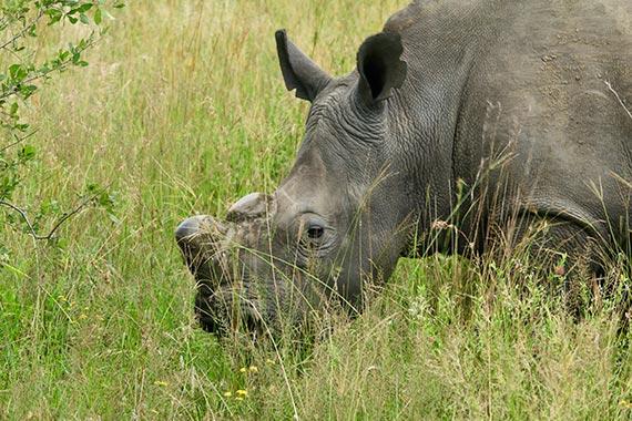 Meet Our Rhinos - Willis