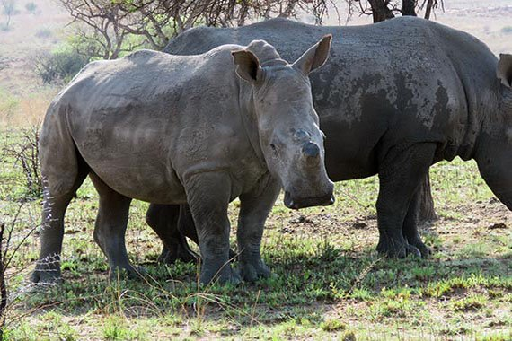 Meet Our Rhinos - Amahle