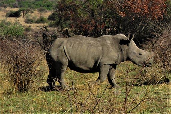 Meet Our Rhinos - Leo