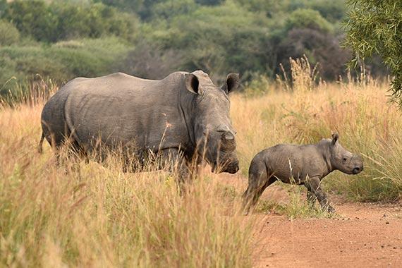 Wendy - Meet Our Rhinos