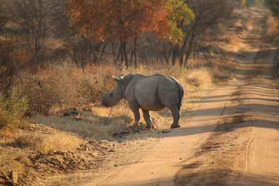 Meet Our Rhinos - Nico