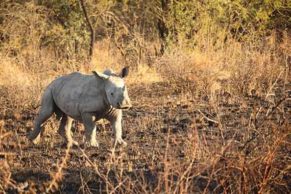 Meet Our Rhinos - Rupert